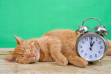 Orange ginger tabby cat sleeping on a wood table, green background next to an old fashioned alarm clock set to 1 o'clock AM. Daylight Savings. Spring forward. Fall back.