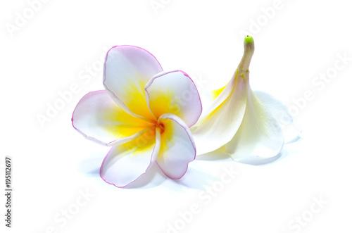 Plexiglas Plumeria Frangipani flowers