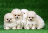 Funny puppies on a green background. Puppies of the Spitz. Christmas card with dogs. - 195124034