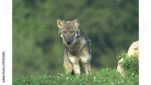 Fotobehang Wolf Europäischer Wolf