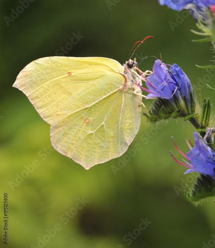 Aluminium Vlinder Zitronenfalter auf Blume
