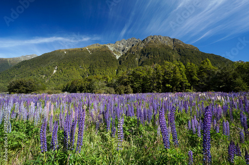 Lupine at Cascade Creek, Fiordland National Park, New Zealand