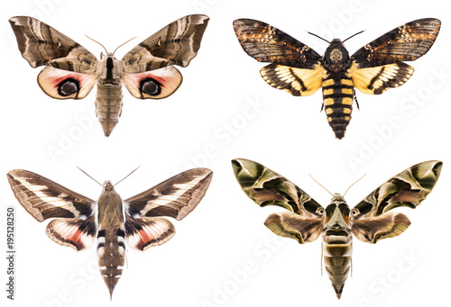 Aluminium Fyle Set of four Sphingidae hawk-moths