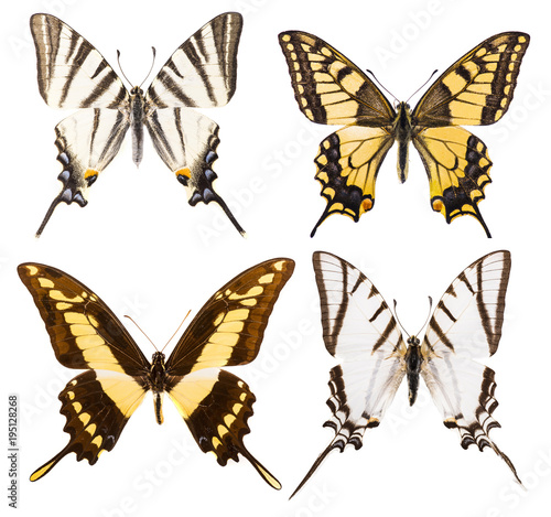 Aluminium Fyle Set of four swallowtail butterflies isolated