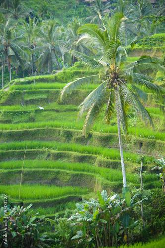 Keuken foto achterwand Bali Rice terraces in Bali, Ubud
