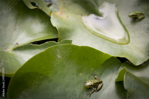 Aluminium Kikker Frog in a lily pond