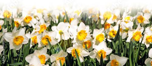 daffodils banner