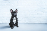 Cute Frenchie dog sitting on the floor - 195143039