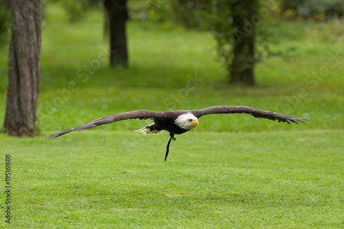 Aluminium Eagle Big bald Eagle (Haliaeetus albicill)