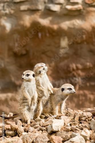 Foto op Canvas Natuur family of meerkat or suricate