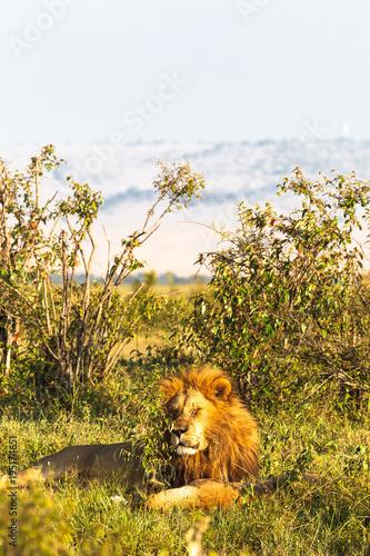 Fotobehang Lion Very big lion resting on the grass. Kenya, Masai Mara