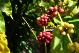 Organic red coffee cherries, raw coffee bean on coffee tree plantation - 195177078