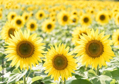 Sunflower Field High Key