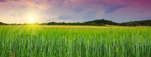 Sunset on green barley field .