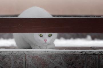 Biały kot z zielonymi oczami siedzący na tarasie, zima