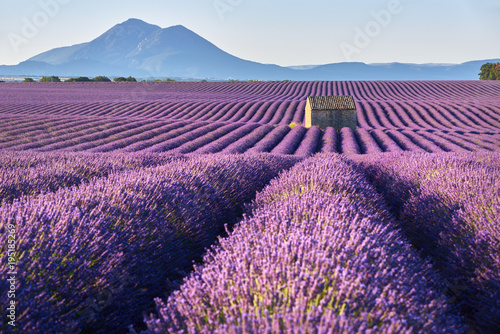 Lavender fields in Plateau de Valensole with a stone house in Summer. Alpes de Haute Provence, PACA Region, France