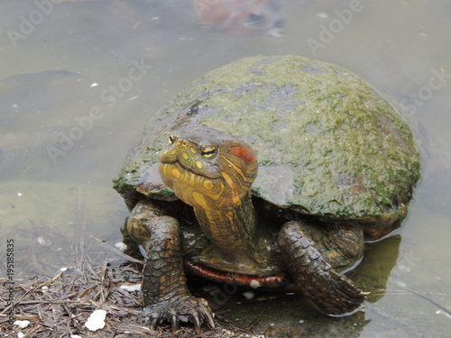 Aluminium Schildpad tartaruga