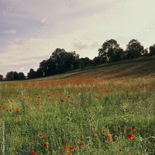 Fotobehang Klaprozen Evening sun on a vibrant red poppy field