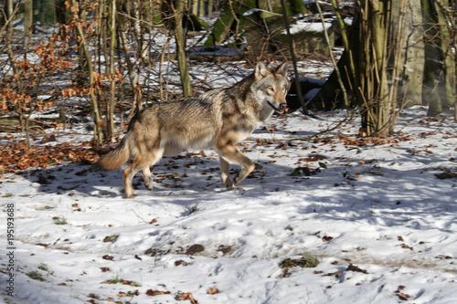 Fotobehang Wolf Wolf