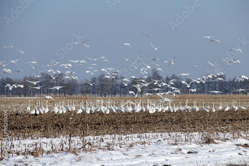 Aluminium Zwaan viele Schwäne auf einem Feld im Winter