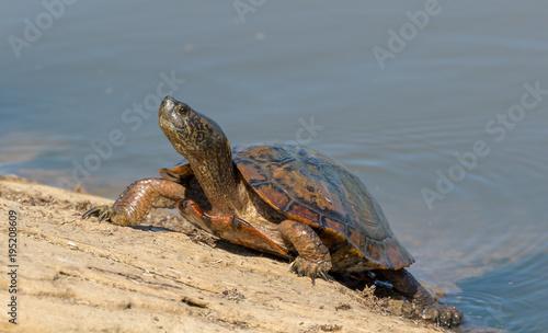 Aluminium Schildpad Turtle Sunbathing on the rocks