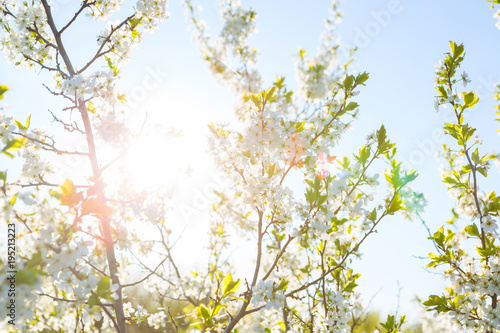 Fotobehang Kersen Beautiful cherry blossoms in spring over clear blue sky
