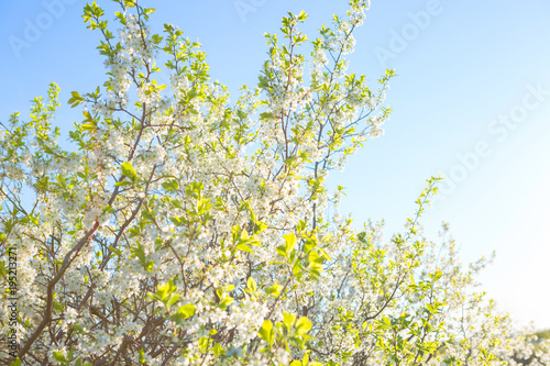 Foto op Canvas Zen Beautiful cherry blossoms white flowers in spring time in sunny day