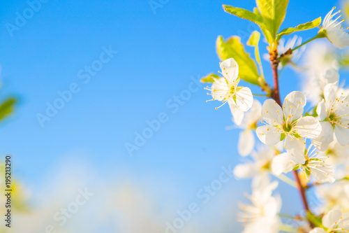 Fototapeta Beautiful white blossoming cherry in spring at Sunrise on blue background