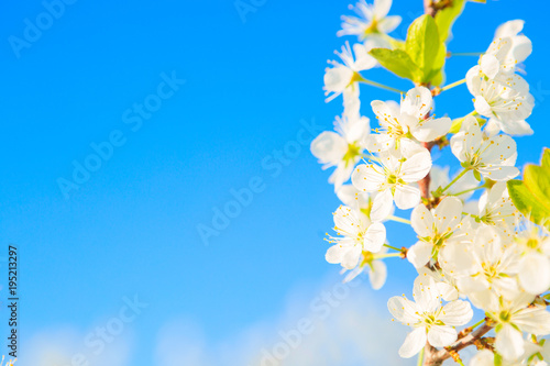 Plexiglas Zen Beautiful cherry blossoms white flowers in spring time in sunny day