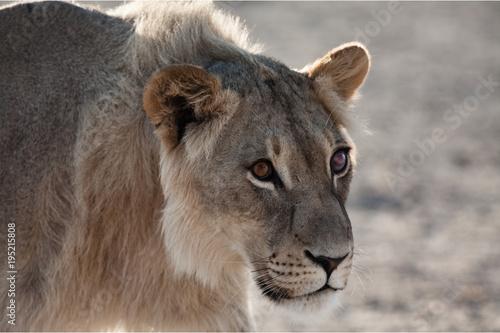 Fotobehang Lion Blind Eye