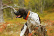 Dog english pointer hunting on the swamp with GPS collar