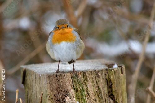 Foto op Canvas Natuur Rotkehlchen im Winterkleid