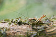 Very small grasshopper camouflage