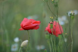 Dwa maki, z płatkami rozwianymi na wietrze, na łące, delikatna gałązka polnej rośliny, tło rozmyte, całość jakby przydymiona, nieco nieostra, atmosfera oniryczna © Wioletta