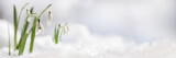 Snowdrop flowers (Galanthus nivalis) growing out of the snow, panoramic banner format with large copy space on the right