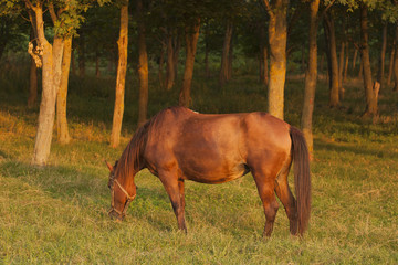 The Mare in the pasture. Horse grazing. A horse is eating grass at sunset.