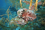 Hahnenkamm-Auster Lopha cristagalli - 195242007