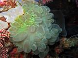 Bogen-Blasenkkoralle (Plerogyra sinuosa) - 195242068