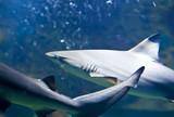 reef sharks