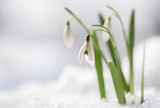 Snowdrops (Galanthus nivalis) grow out of the snow, the first flowers when spring is coming, macro shot with copy space in the snowy background - 195250675