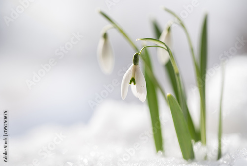Fototapeta Snowdrops (Galanthus nivalis) grow out of the snow, the first flowers when spring is coming, macro shot with copy space in the snowy background
