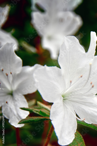 Aluminium Azalea Concept cloudy morning. Snow-white Azalea flowers close-up, selective focus. Delicate white flowers on dark background plant.