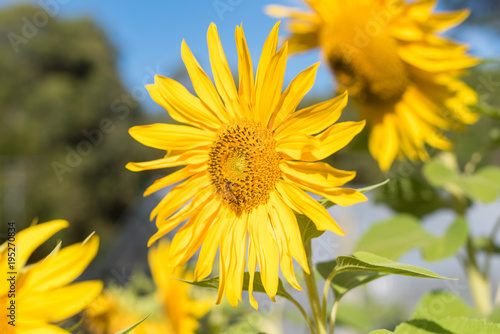 Sunflower with bee collecting pollen against blue sky (selective focus)