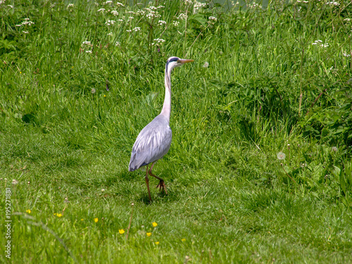 Papiers peints Vert Grey heron stands on the bank of the Shropshire Union Canal in England.