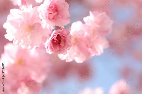 Fotobehang Lichtroze 桜の花 青空