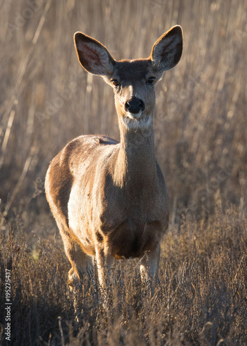 Fotobehang Hert Young black-tailed deer (fawn) , seen in the wild in North California