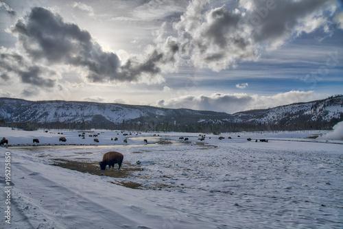 Fotobehang Bison Biscuit Basin area - Buffalo/Bison in Winter Landscape