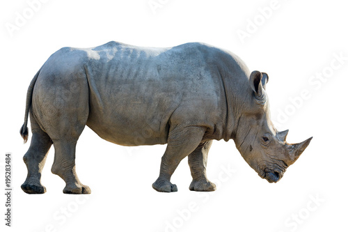 Aluminium Neushoorn Portrait of a white rhinoceros on a white background.