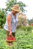 Woman farmer in strawberry field, harvest of strawberries to the basket, organic farming concept - 195285875