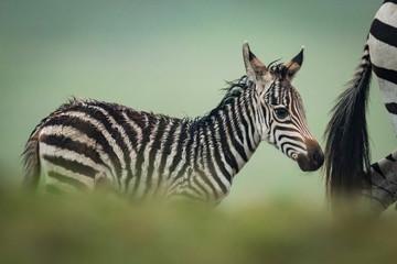 Baby plains zebra follows mother behind bushes